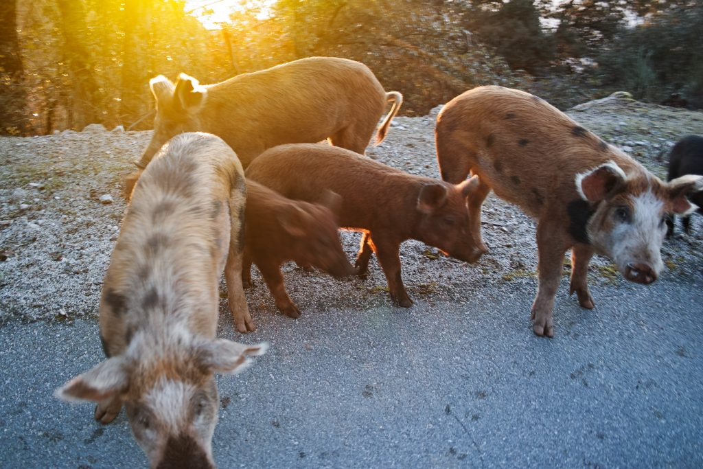 Porc de Corse, a cross-breeding of wild boar and domestic pig