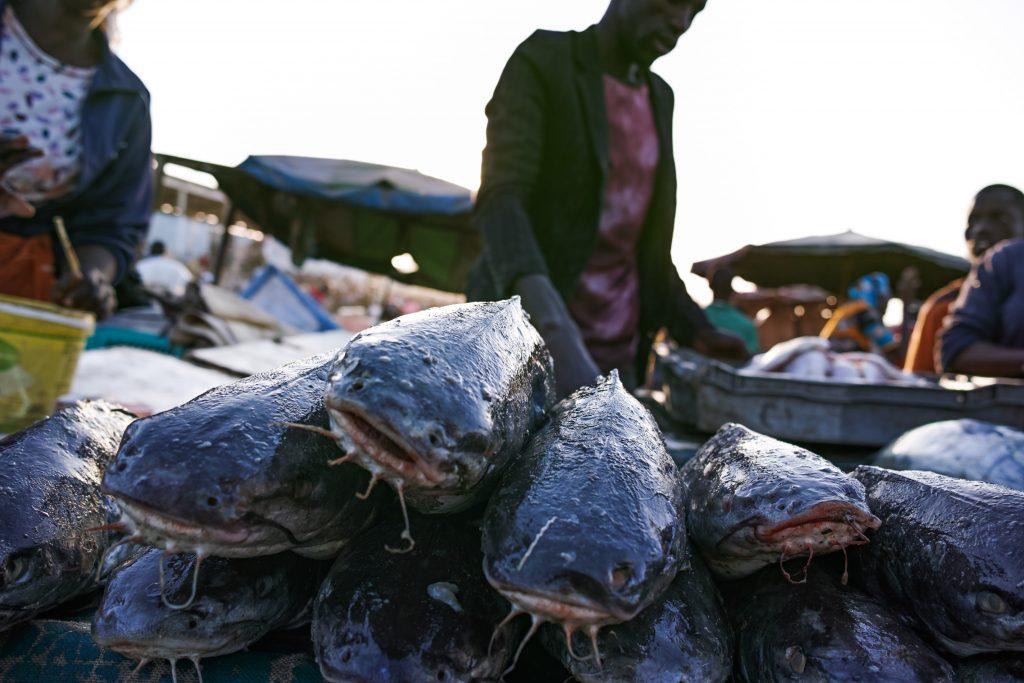 Sea catfish at the Mbour fish market