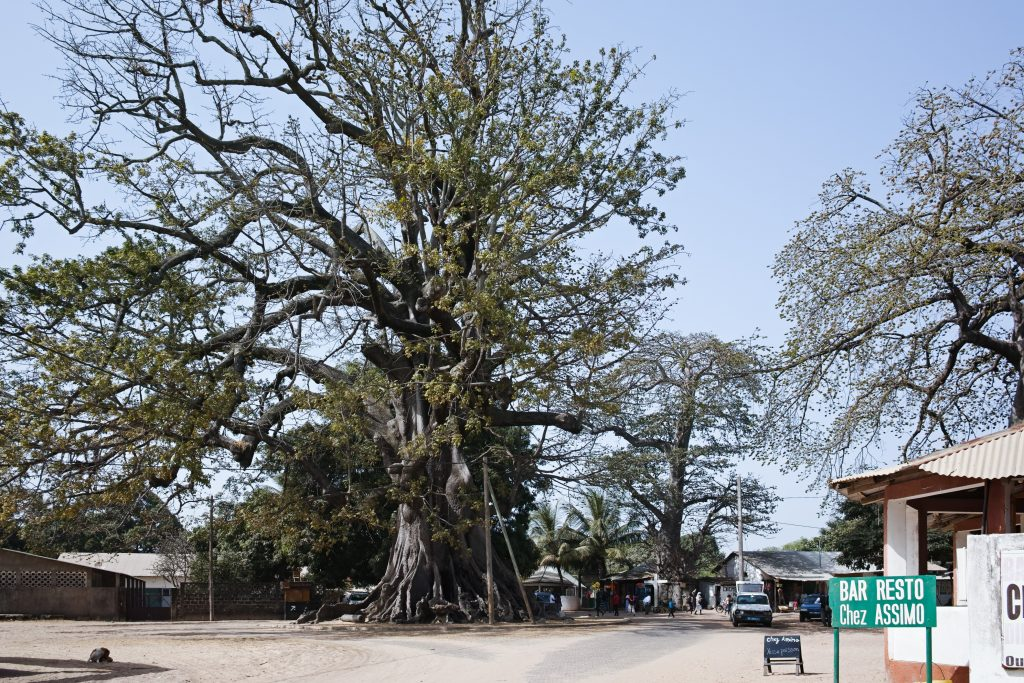 Kapok tree in Diembéring