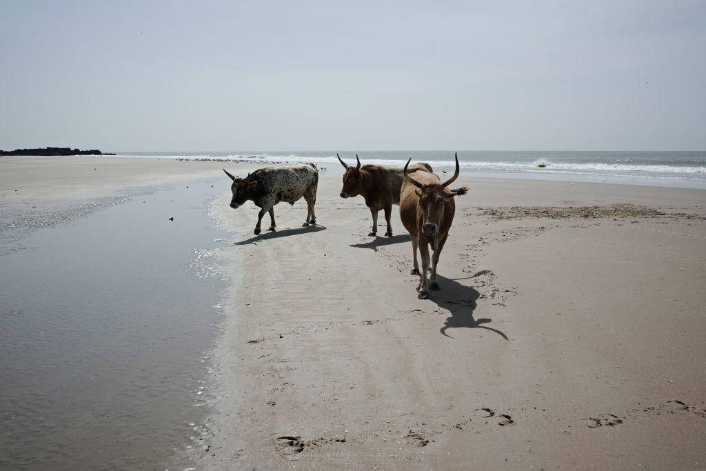 Cows on the Cap Skirring beach